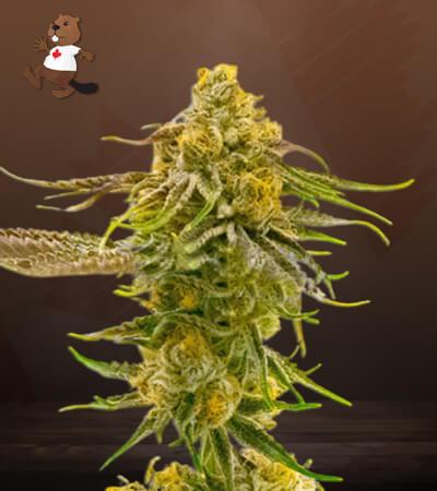 Strawberry Banana Cheese Feminized Marijuana Seeds