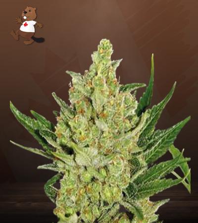 Strawberry Cheese Autoflower Marijuana Seeds