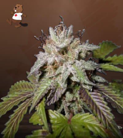 Sunset Sherbet Feminized Marijuana Seeds