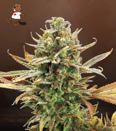 Super Critical Feminized Marijuana Seeds