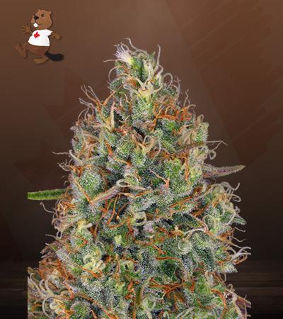 Sweet Tooth Regular Marijuana Seeds