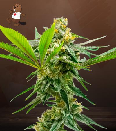 sweeth island feminized marijuana seeds