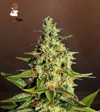 Tahoe Kush Feminized Marijuana Seeds
