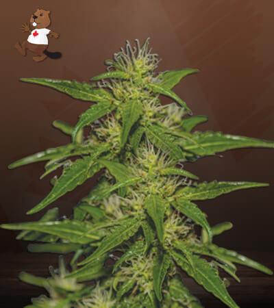 white russian feminized marijuana seeds
