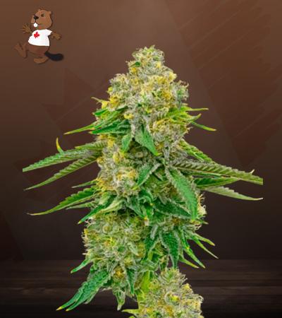 Yumbolt Autoflower Marijuana Seeds