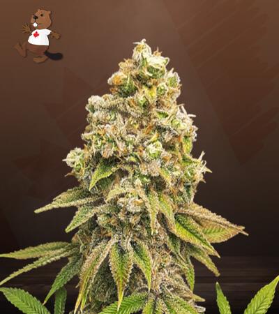 zkittlez feminized marijuana seeds