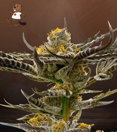 Afghan Kush Feminized Marijuana Seeds