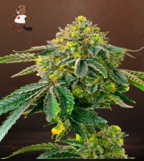 AK-47 Feminized Marijuana Seeds