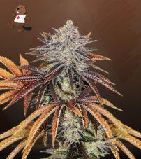 Alien Technology Regular Marijuana Seeds