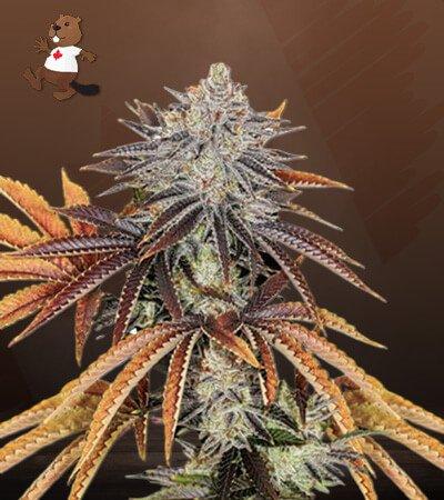 Alien Technology Marijuana Seeds