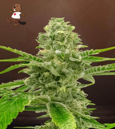 American Haze California Haze Feminized Marijuana Seeds