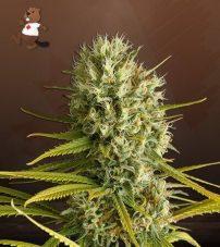 Amnesia Feminized Marijuana Seeds