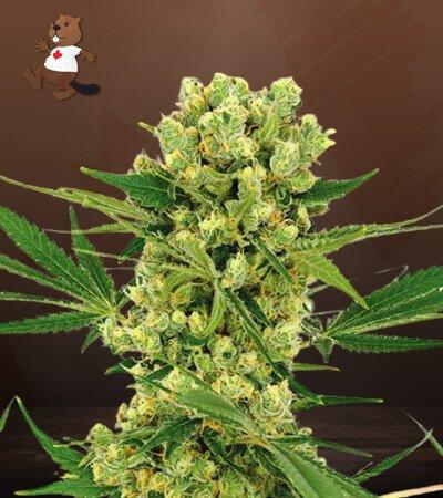 Amnesia Haze Feminized Marijuana Seeds
