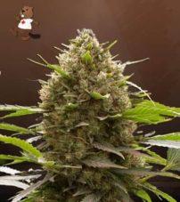 amnesia kush feminized marijuana seeds