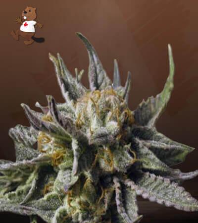 Bc God Bud Marijuana Seeds