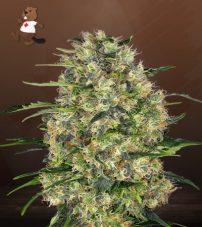 Black Domina Feminized Marijuana Seeds