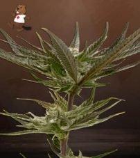 black hulk feminized marijuana seeds