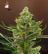 Black Widow Feminized Marijuana Seeds