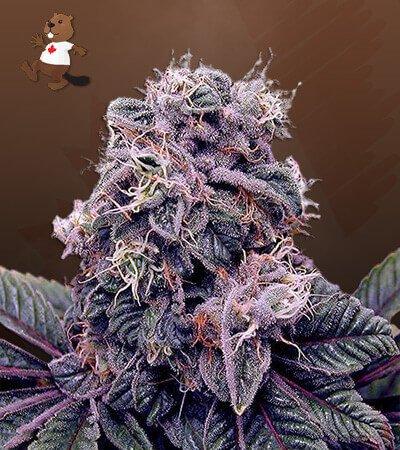 Blackberry Kush Feminized Marijuana Seeds