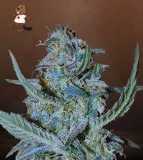 blue cheese feminized marijuana seeds