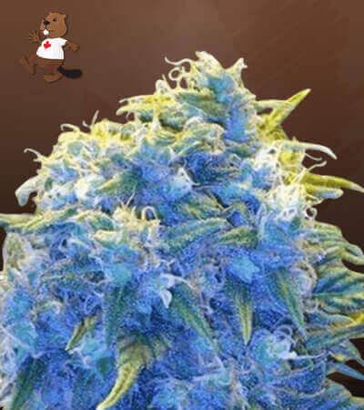 Blue Haze Feminized Marijuana Seeds
