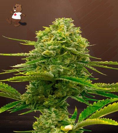 Bubblegum Autoflower Marijuana Seeds