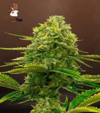 Bubblegum Feminized Marijuana Seeds