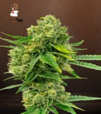 Cheese Diesel Feminized Marijuana Seeds