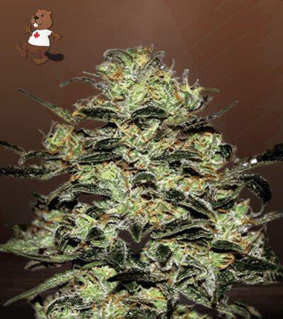 Moby Regular Marijuana Seeds