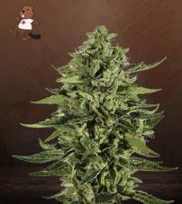 Skywalker Feminized Marijuana Seeds