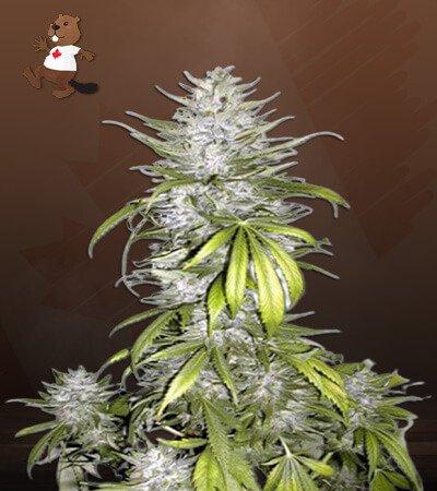Taskenti Feminized Marijuana Seeds