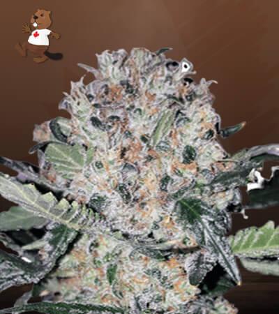 Black Domina x Scott's OG Feminized Marijuana Seeds