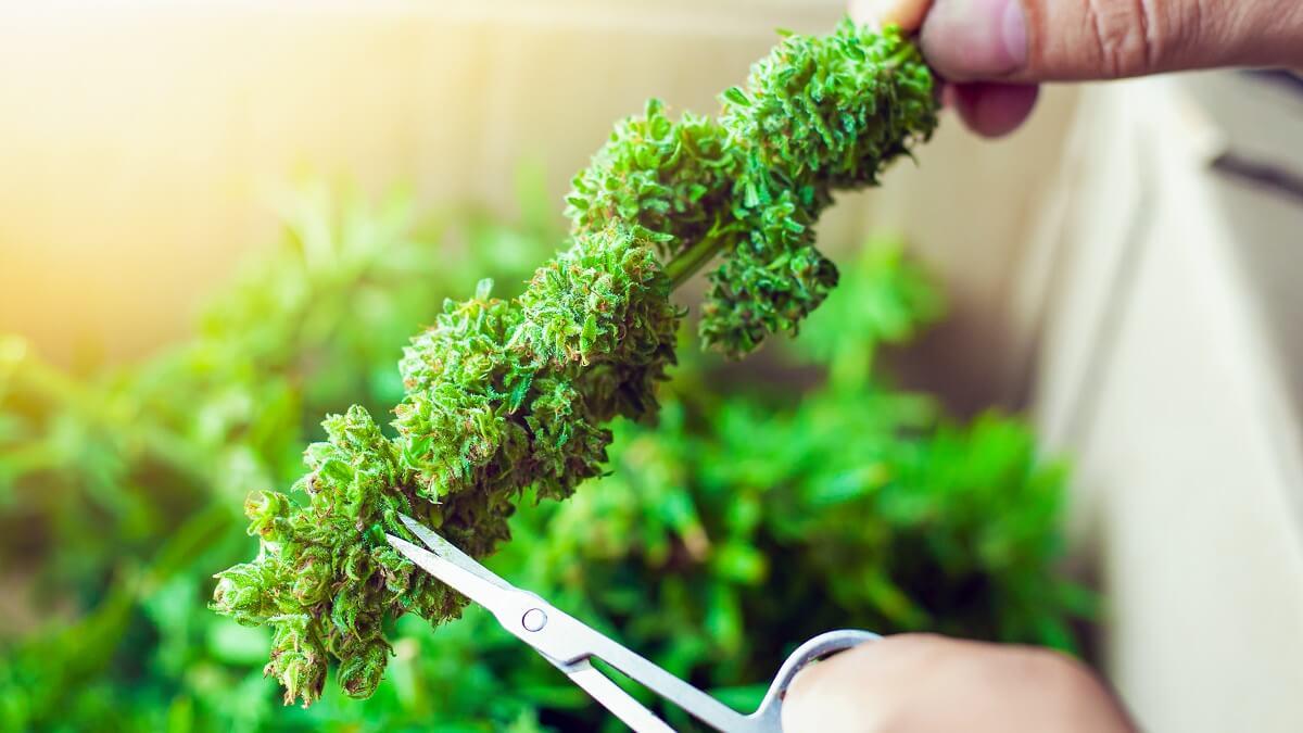 Trim Cannabis