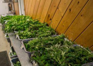 how to trim cannabis