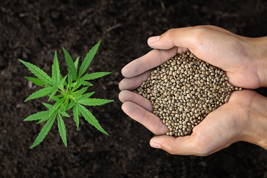 Buy Marijuana Seeds In Dallas
