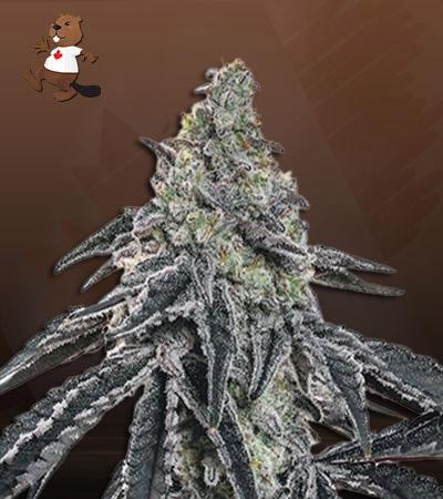 Afghan Chocolope Fast Version Marijuana Seeds