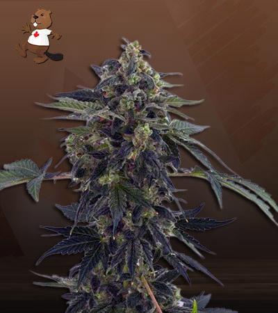 Aloha Autoflower Marijuana Seeds