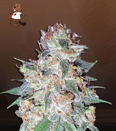 Aurora Autoflower Marijuana Seeds