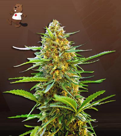 Banana Autoflower Marijuana Seeds