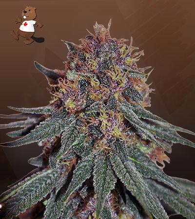Black Haze Feminized Marijuana Seeds