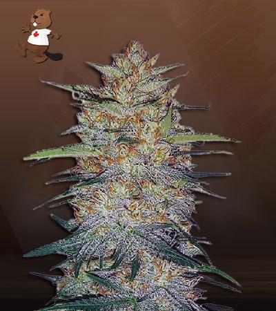 Blood Orange Kush Feminized Marijuana Seeds