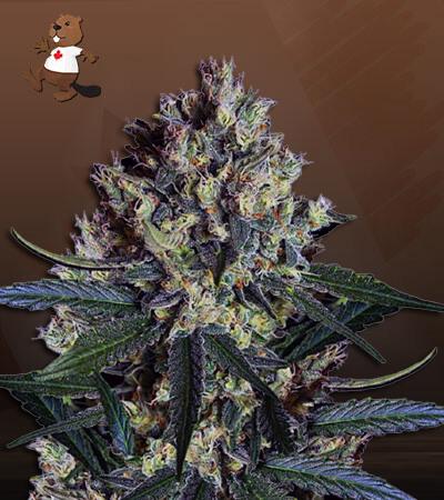 CBD Indica Fast Version Marijuana Seeds