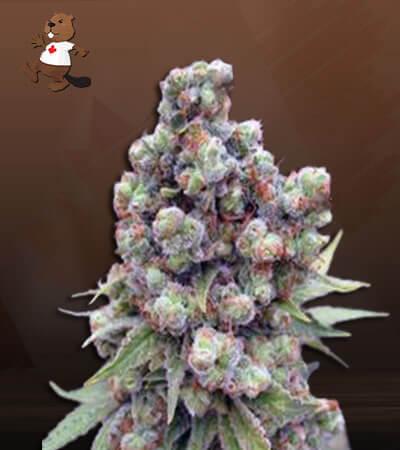 Cherry Blaster Fast Version Marijuana Seeds