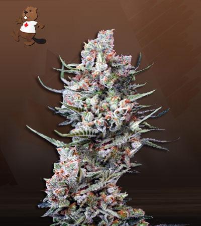 Cola Kush Fast Version Marijuana Seeds