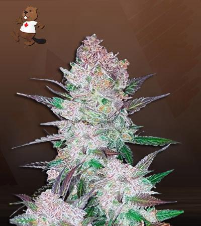 Cookie Crumble Feminized Marijuana Strain