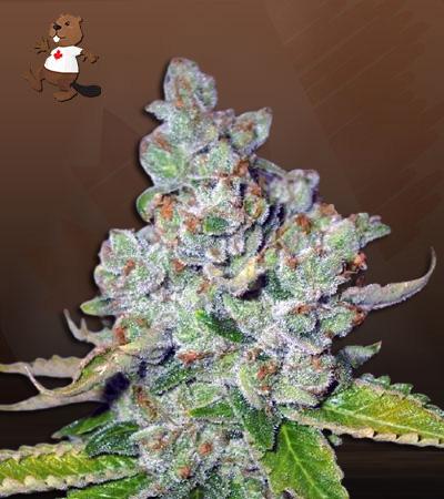 Corona Kush Fast Version Marijuana Seeds