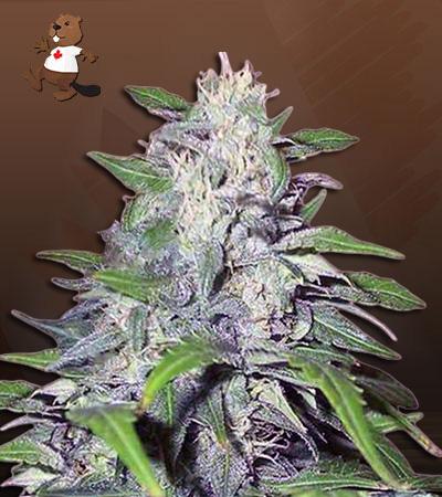 Dwarf King Autoflower Marijuana Seeds