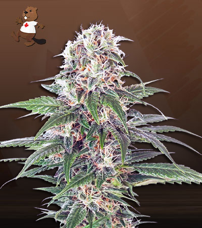 Early Feminized Fast Version Marijuana Seeds