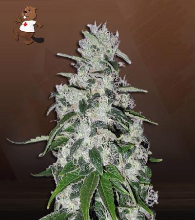 Electric Berraelectric berry feminized marijuana seedsy Feminized Marijuana Seeds