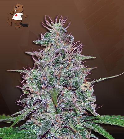 frosted zin autoflower marijuana seeds